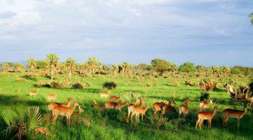 Antilopen am Morgen
